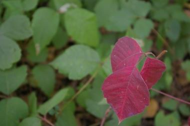 Sept Ivy 02